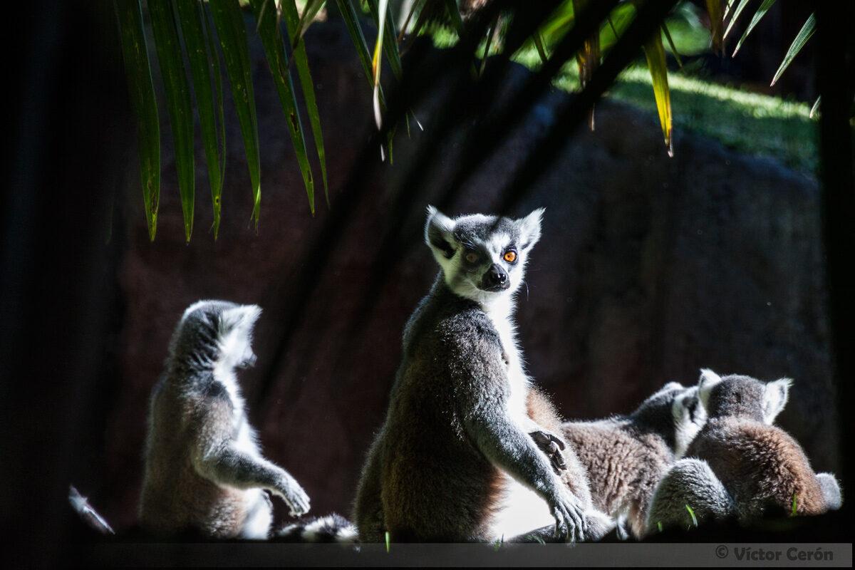 Lémur de cola anillada (Lemur catta)